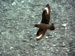A ravenous skua looks for an easy meal opportunity; Shingle Cove