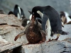 Feeding time! A hungry adelie chick gets fed krill from its doting parent