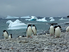 Adelie penguins returning from Iceberg Bay