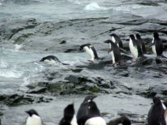 Safety in numbers...adelie penguins entering the sea en masse
