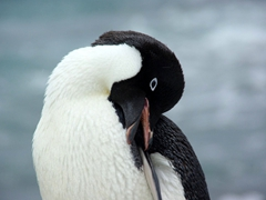 Close up of an adelie penguin using its beak to preen itself