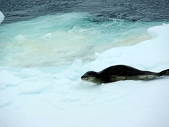 Our first glimpse of a leopard seal, startled by our sudden appearance when it awoke from its nap on the pack ice