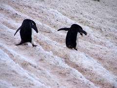 Adelie penguins carefully making their way down to the sea