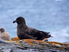 A skua parent closely guards its newborn chick; Shingle Cove