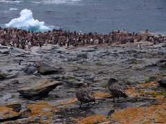 Skuas anxiously scan the horizon for any feeding opportunities at the adelie penguin colony