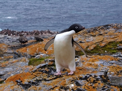 An adelie penguin curiously checks us out; Shingle Cove