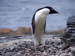 This adelie penguin was hilarious to watch...it would contort its body to be thin and tall and than settle back down with a short and chubby form. We weren't sure what was going on with its behavior