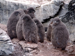 A guano stained crèche of adelie penguins