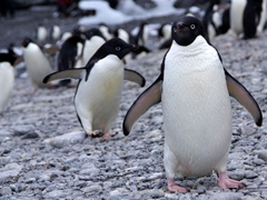 Adelie penguins have no fear...they walked right up to us to check us out