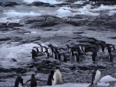 Adelie penguins about to feed on krill