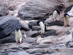 Adélie penguins are highly social birds, heading to the sea to forage for food together