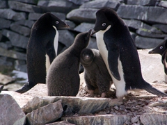 Adelie penguin chicks trying to get their parent to regurgitate krill; atop the Nordenskjold hut on Paulet Island