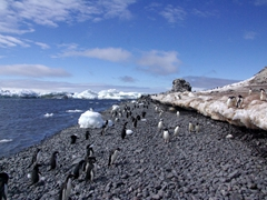 Adelie penguins making their way to and from the sea; Paulet Island