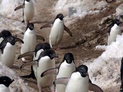 Adelies walking in formation; Paulet Island