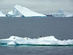 Adelie penguins claim any low lying icebergs near Paulet Island as their own