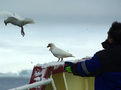 A Polar Star staff member chasing away scavenging sheathbills from the ship