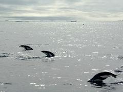 Adelie penguins porpoising beside our zodiac
