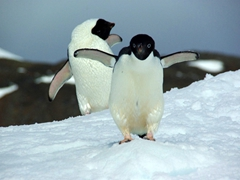 Adelie penguin amusing us with its antics