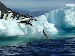 Gorgeous shot of adelie penguins jumping into the water to feed on krill