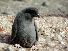 Adelie chicks have sooty-blackish heads and gray down-covered bodies