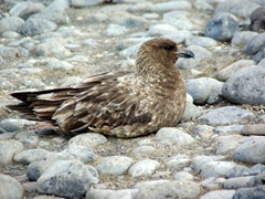 A resting skua conserves its energy before the next meal; Paulet Island