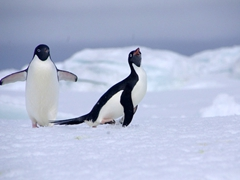 Adelie penguins are comical to watch, as they engage in playful behavior; iceberg near Paulet Island