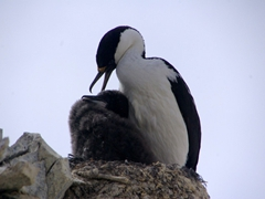 Imperial shag protectively grooming its chick; Paulet Island