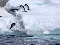 Adelie penguins catapulting themselves to the sea; Paulet Island