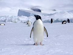 Portrait of an adelie penguin; iceberg near Paulet Island