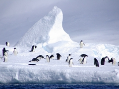 Adelie penguins on an iceberg off of Paulet Island