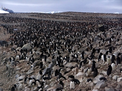 Paulet Island is home to over 200,000 adelie penguins. Here, the colony stretches as far as the eye can see