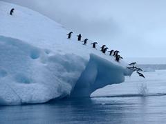 Adelie penguins making the leap en masse; just offshore Brown Bluff