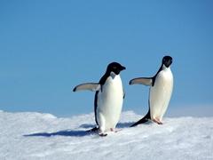 Inquisitive adelie penguins on an iceberg near Devil Island