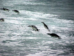 Chinstrap penguins porpoising back to shore; Bailey Head