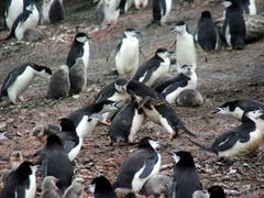 Chinstrap fight in the colony! We weren't sure why the other chinstraps were ganging up on this one penguin, but boy were they mad