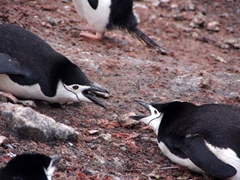 Two chinstrap penguins jousting each other; Bailey Head