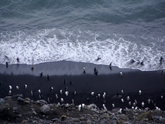 Chinstrap penguins on the black sand beach on Deception Island
