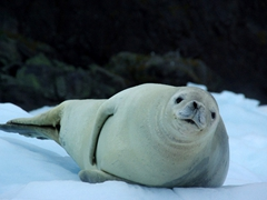 Crabeater seals don't actually eat crabs! Their primary diet consists of krill