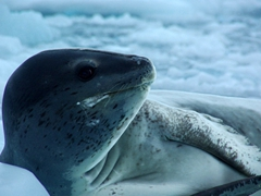 Side profile of a leopard seal, which has a long, slender body and a large head and jaw