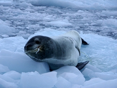 Cierva Cove has the highest concentration of leopard seals in Antarctica. It didn't take us long to spot this lovely creature