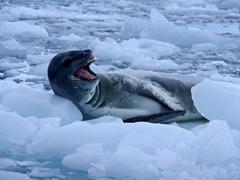 """Leopard seals are curious and powerful creatures. They are known to """"play"""" with their prey, maiming and killing penguins that they have no intention of eating"""