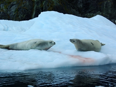 Crabeater seals chilling at Cierva Cove. Notice the pink stains near them? That is the remnants of their krill meal