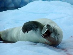 We found the yawns of this crabeater seal to be contagious, as its partner would soon yawn and several seconds later it would follow suit again; Cierva Cove