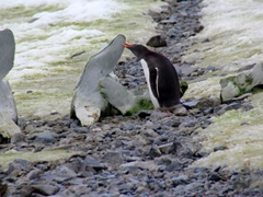 A gentoo penguin nibbles on a whale bone to see if it is edible; Cuverville Island