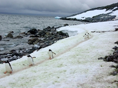 Gentoos returning from the sea along a penguin highway; Cuverville