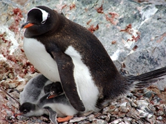 A gentoo parent keeps both its chicks warm; Cuverville Island