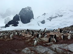 View of Cuverville's large gentoo colony