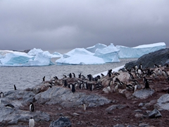 5000 pairs of gentoo penguins call Cuverville Island home