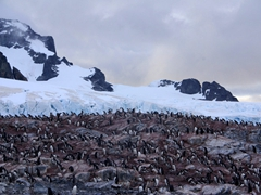 Another view of Cuverville Island's gentoo rookery