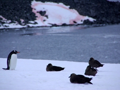 A gentoo penguin stares down a skua club, Cuverville Island